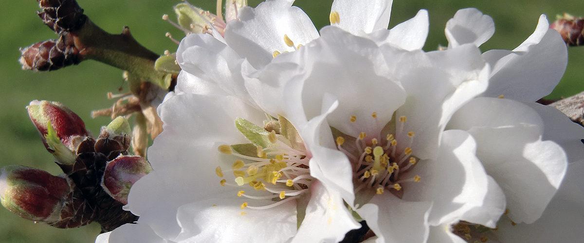 NATURALEZA Flor de almendro